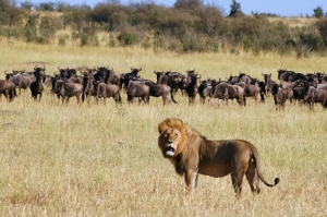 lion hunting wildebeasts