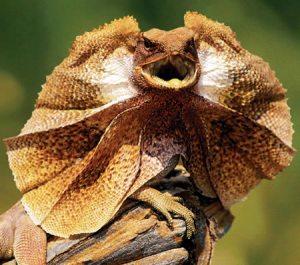 Australian frilled lizard