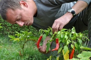 man looking over hot pepper plants