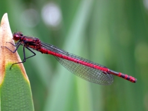 red dragonfly on leaf