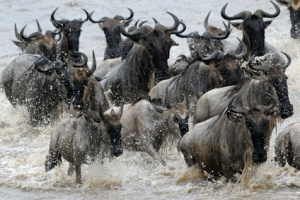 herd of wildebeast crossing river