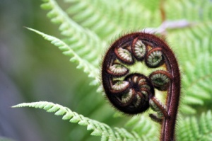 Punga tree fern frond