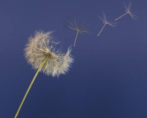 dandelion seeds floating away