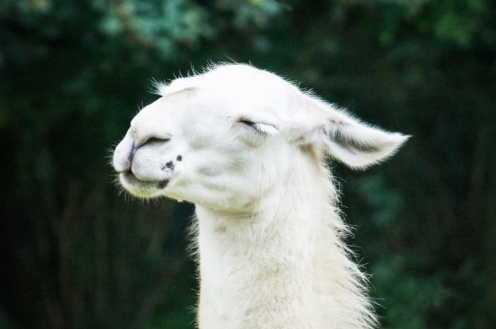 blissful white lama