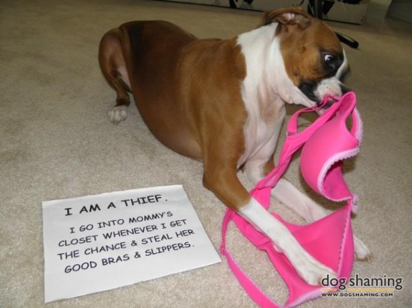 dog pink bra