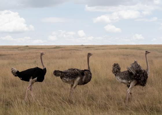 3 ostriches walking across grassland